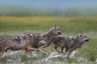 湿地を走る3頭のタイリクオオカミ 32258001796| 写真素材・ストックフォト・画像・イラスト素材|アマナイメージズ