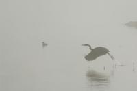霧の朝、飛び立つオオアオサギ