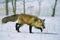 雪の中で餌をさがすアカギツネ