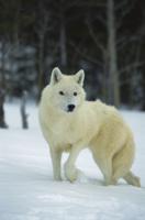 雪の上のタイリクオオカミ