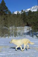 雪の上を走るタイリクオオカミ