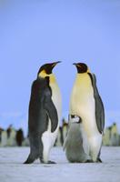 コウテイペンギン(エンペラーペンギン)の家族 32258001917| 写真素材・ストックフォト・画像・イラスト素材|アマナイメージズ