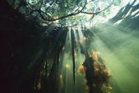 陽光射し込むマングローブの沼