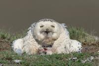 巣の中にシロフクロウの母子