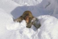 雪で遊ぶニホンザルの子供