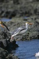 岩から海に飛び込むロイヤルペンギン 32258001987| 写真素材・ストックフォト・画像・イラスト素材|アマナイメージズ