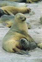 赤ちゃんに授乳するニュージーランドアシカ 32258001999| 写真素材・ストックフォト・画像・イラスト素材|アマナイメージズ