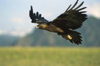 イヌワシの飛翔