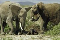 生まれたばかりの赤ちゃんの世話をするメスのアフリカゾウ