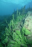 湖の岩底に生える海綿の仲間