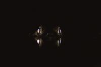 夜、光るメガネカイマンの眼 32258002056| 写真素材・ストックフォト・画像・イラスト素材|アマナイメージズ