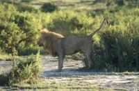 なわばりに臭い付け(マーキング)の排尿をするライオン