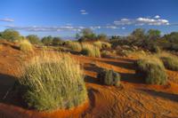 砂漠に生えるスピニフェックス