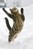 雪の中で飛び上がるイエネコ