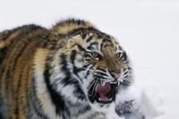 雪の中でうなるシベリアトラ(シベリアタイガー)の顔