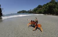 浜辺で威嚇のポーズをとるオカガニの仲間(ハロウィンクラブ)