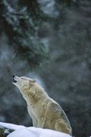 降雪の中、遠吠えをするタイリクオオカミ
