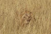 背の高い草むらに隠れる若いオスライオン