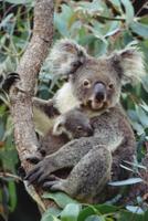 木の上で休む生後3ヶ月のコアラの子供と母親