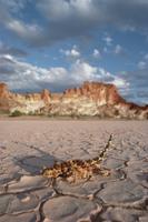ひび割れた沼地を横切るモロクトカゲ 32258002242| 写真素材・ストックフォト・画像・イラスト素材|アマナイメージズ