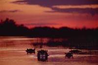 夕暮れの川にいるカバのグループ