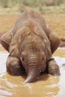 泥遊びをする生後5週間のアフリカゾウの赤ちゃん