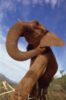 アフリカゾウの孤児