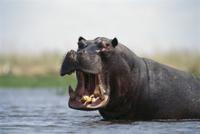 口を開けて威嚇するカバのオス 32258002319| 写真素材・ストックフォト・画像・イラスト素材|アマナイメージズ
