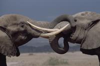 挨拶し合う二頭のアフリカゾウのオス