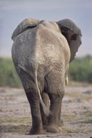 歩くアフリカゾウの後ろ姿