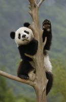 木に登るジャイアントパンダの子