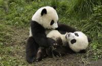 遊ぶ2頭のジャイアントパンダの子供