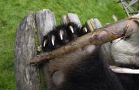 ジャイアントパンダの赤ちゃんの足の爪  タケノコを掴んでいる