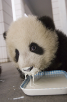 特製ミルクを飲む生後5-8ヶ月のジャイアントパンダの子の顔 32258002415| 写真素材・ストックフォト・画像・イラスト素材|アマナイメージズ