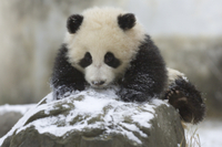 雪の中で遊ぶジャイアントパンダの子