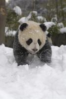 雪の中を歩く生後6ヶ月のジャイアントパンダの子 32258002426  写真素材・ストックフォト・画像・イラスト素材 アマナイメージズ
