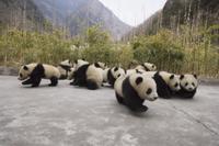 16頭のジャイアントパンダの子