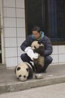 食事の後、口を拭いてもらうジャイアントパンダの子