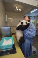 体重を測られるジャイアントパンダ