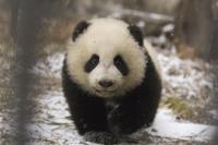 雪の中のジャイアントパンダの子