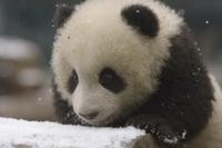 雪の中で遊ぶジャイアントパンダの子の顔