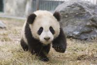 遊ぶジャイアントパンダの子