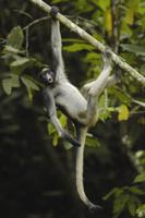 木からぶら下がって吠えるケナガクモザル