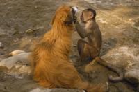 イヌ(飼い犬)の毛繕いをするシロガオオマキザル