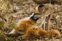 イヌ(飼い犬)と遊ぶシロガオオマキザル