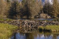 アメリカビーバーのダムと巣