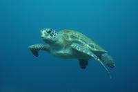 海中を泳ぐアオウミガメ 32258002562| 写真素材・ストックフォト・画像・イラスト素材|アマナイメージズ