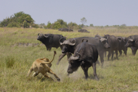 アフリカスイギュウの反撃を避けるライオンのメス