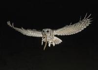 ヘビをくわえて飛ぶニシアメリカオオコノハズク 32258002723| 写真素材・ストックフォト・画像・イラスト素材|アマナイメージズ