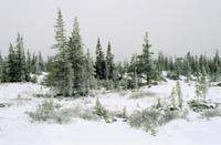 雪のタイガで樹氷に覆われたアメリカクロトウヒ(クロトウヒ)